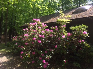 Rhododendrens at cottage